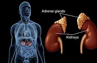 Location of the adrenal glands