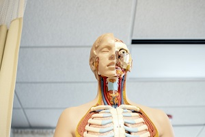 Dummy used in anatomy education