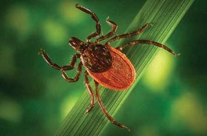 Lyme disease causing tick
