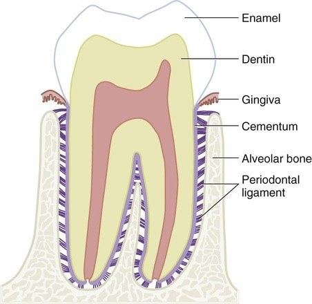 Detailed diagram of a tooth